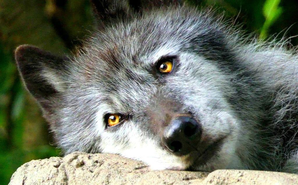Loup gris Espèce menacé