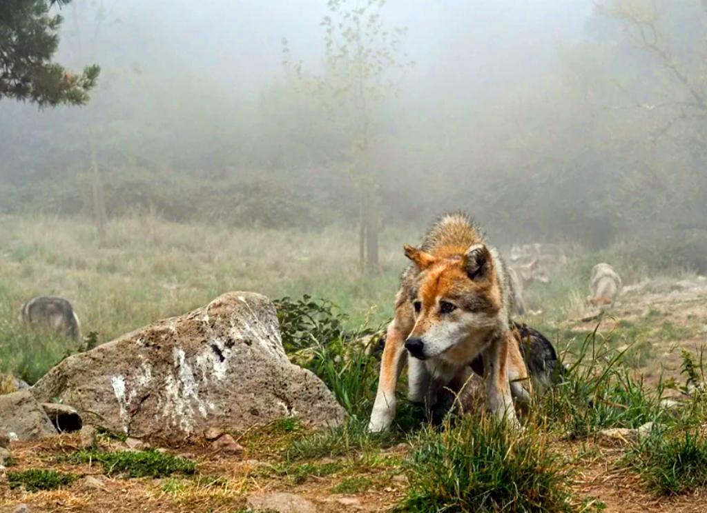 Loup Méfiant