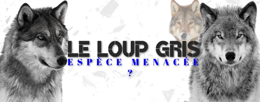 Le loup gris ; Espèce menacée ?