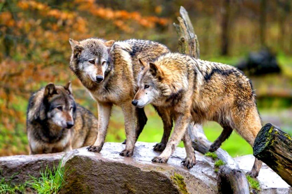 Comportement de 3 Loups