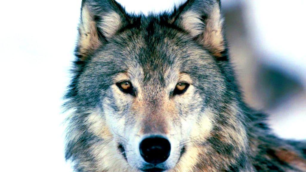 Loup gris vue de près