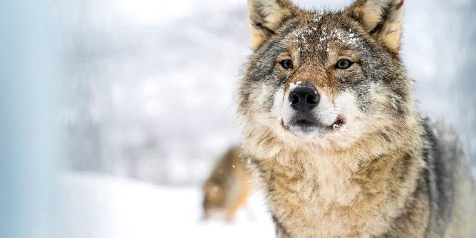 Loup enjoué