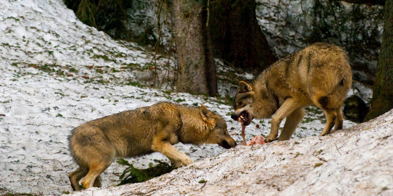 Loup soumis (actif)